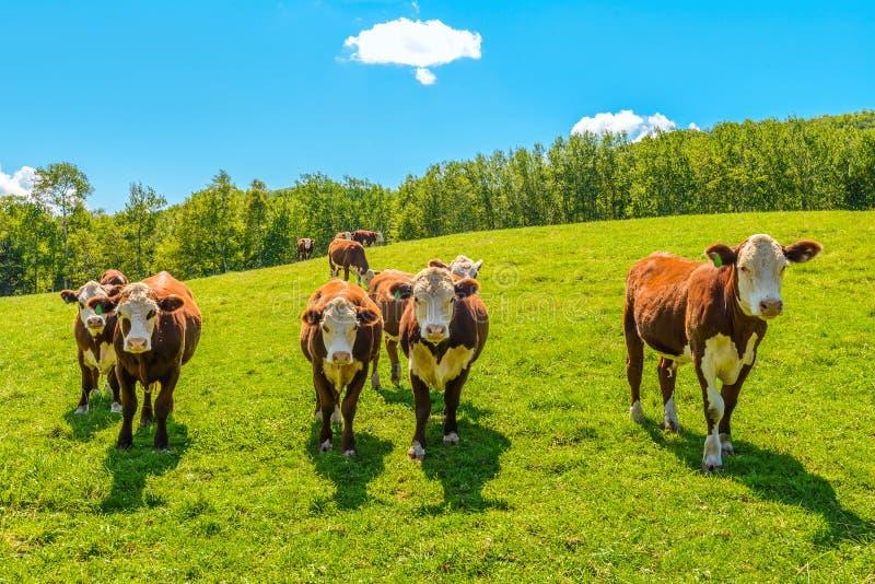 Vacas em um pasto do verão foto de stock royalty free