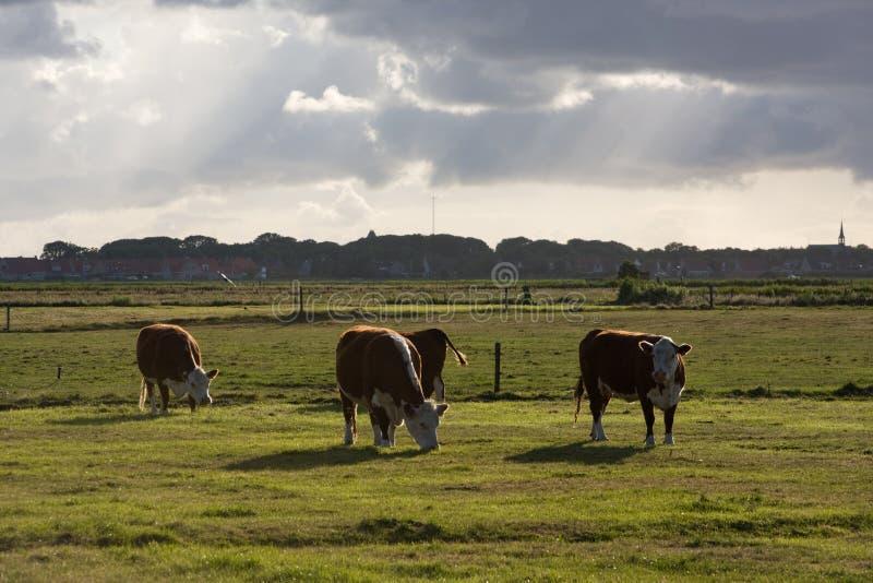 Vacas em um prado em Ameland fotografia de stock royalty free