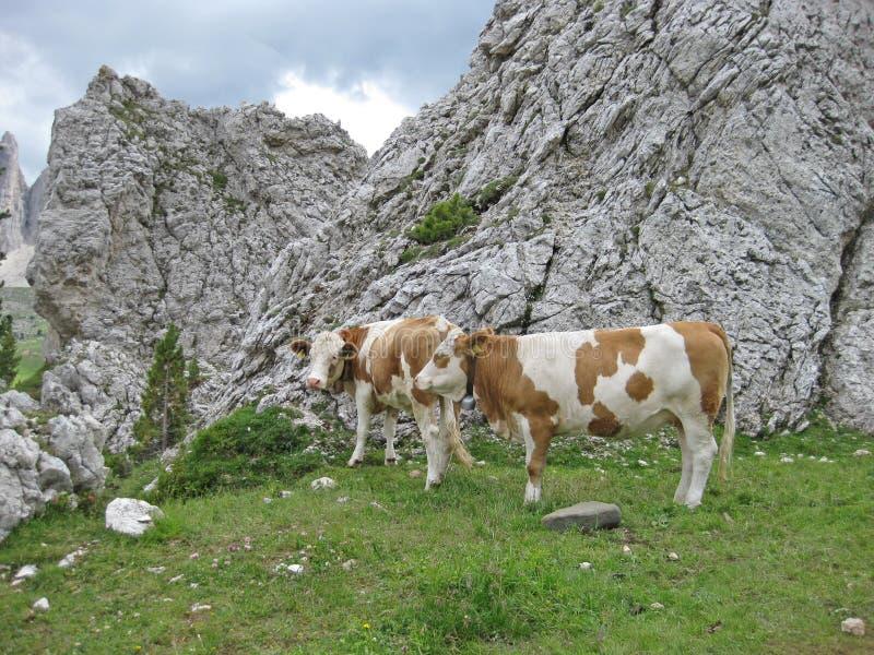Vacas em um prado nas dolomites italianas em Tirol sul em um dia de verão fotografia de stock royalty free