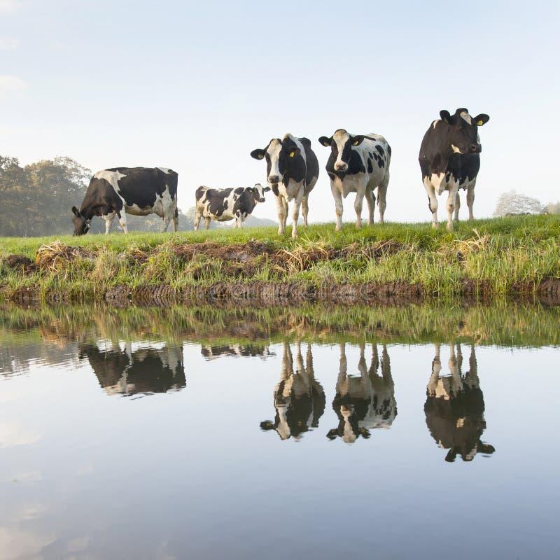 Vacas em um prado perto do zeist nos Países Baixos fotos de stock royalty free