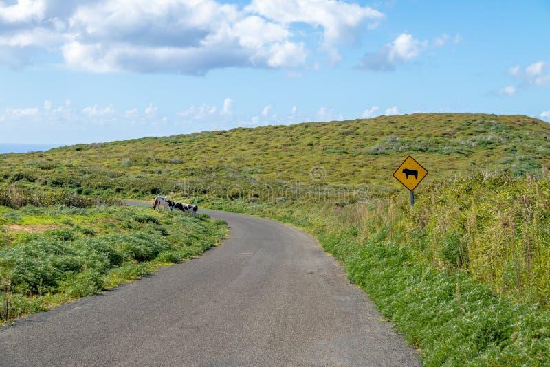 Vacas em uma estrada a Rano Kau Volcano - Ilha de Páscoa, o Chile fotos de stock