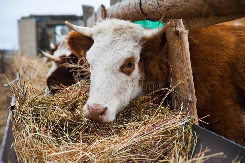 Vacas em uma exploração agrícola Vacas de leiteria imagem de stock royalty free