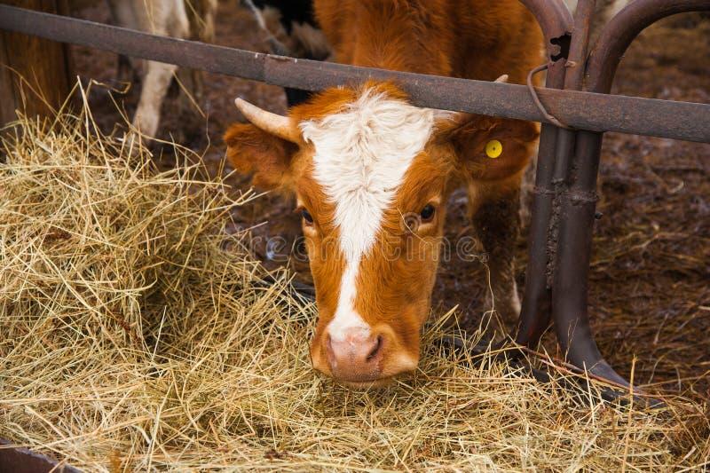 Vacas em uma exploração agrícola Vacas de leiteria fotos de stock