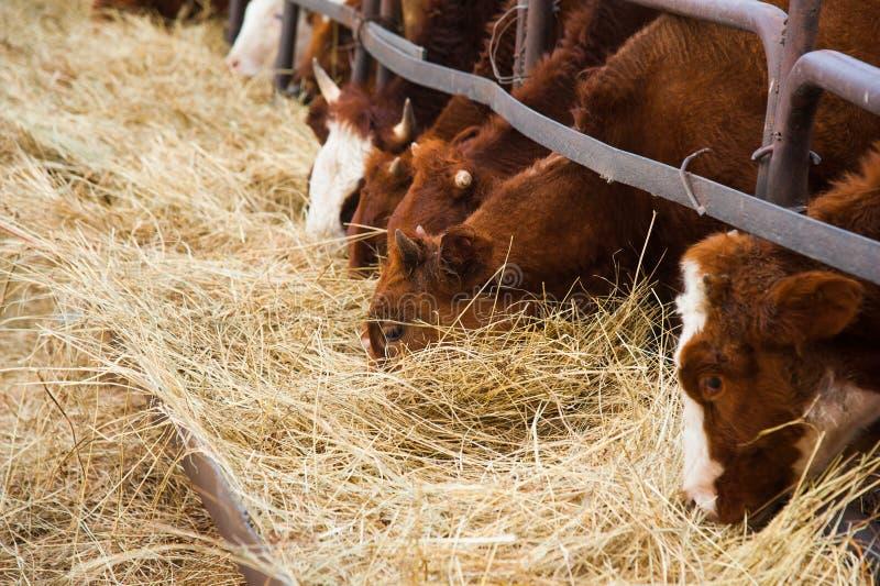 Vacas em uma exploração agrícola Vacas de leiteria foto de stock