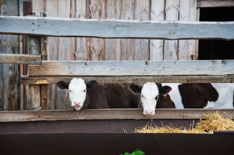 Vacas em uma exploração agrícola Vacas de leiteria imagens de stock royalty free