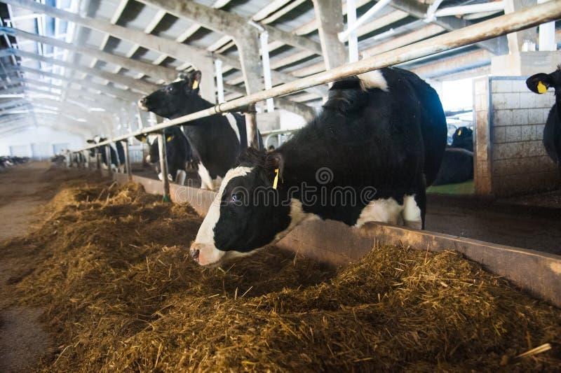 Vacas em uma exploração agrícola Vacas de leiteria foto de stock royalty free
