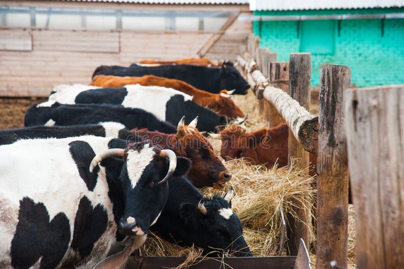 Vacas em uma explora??o agr?cola Vacas de leiteria fotografia de stock