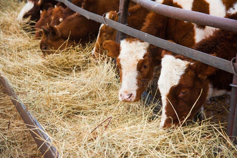 Vacas em uma explora??o agr?cola Vacas de leiteria imagem de stock