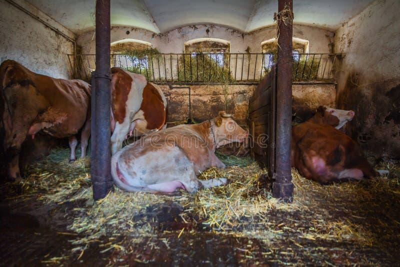 Vacas em uma explora??o agr?cola fotos de stock royalty free