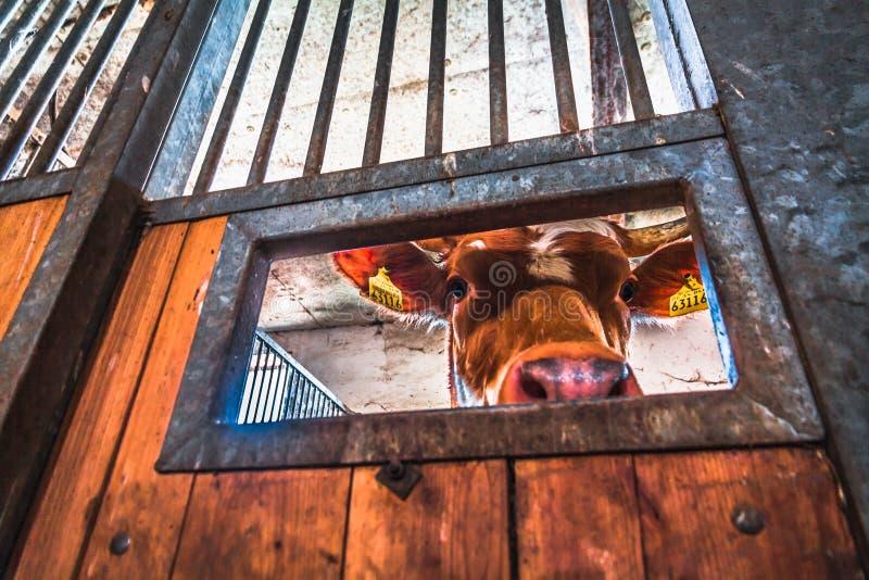 Vacas em uma explora??o agr?cola imagens de stock royalty free