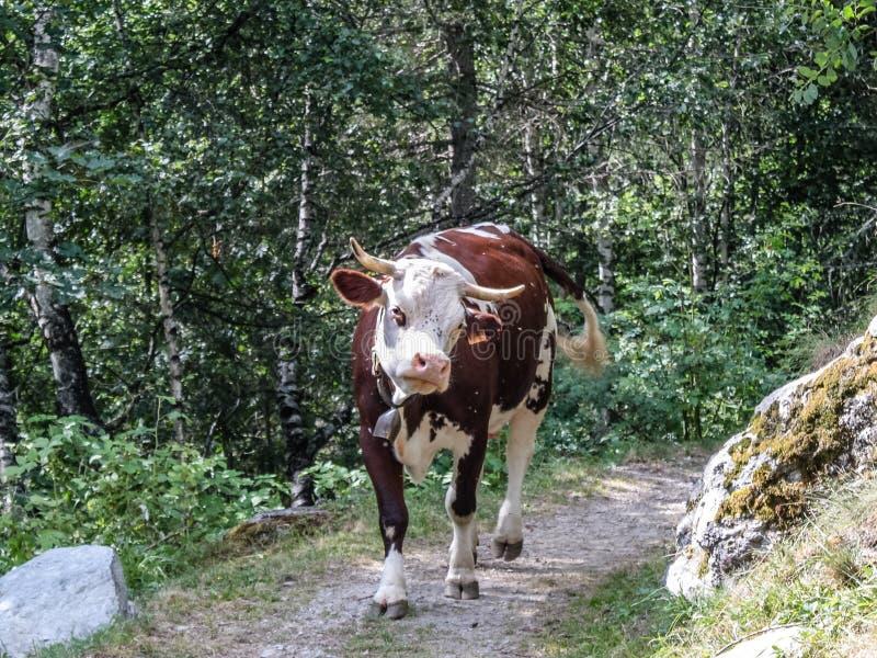 Vacas em uma madeira de um vale alpino imagens de stock