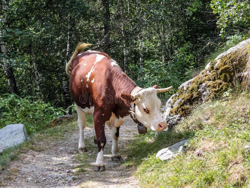 Vacas em uma madeira de um vale alpino imagem de stock royalty free