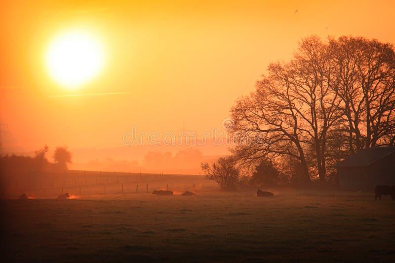 Vacas em uma manhã nevoenta fria fotografia de stock
