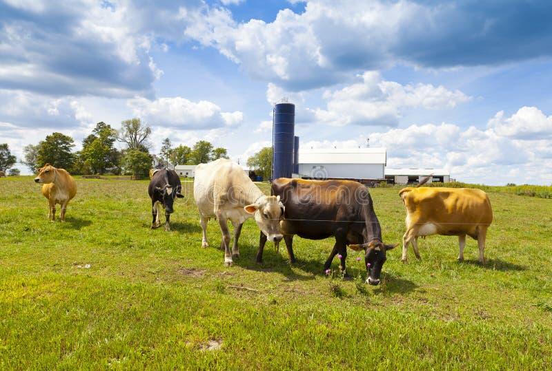 Vacas en campo imágenes de archivo libres de regalías