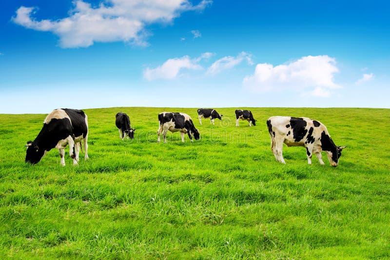 Vacas en campo verde imagen de archivo libre de regalías