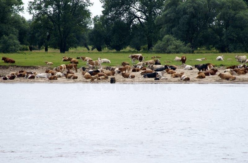 Download Vacas en el banco de arena imagen de archivo. Imagen de perspectiva - 42435337