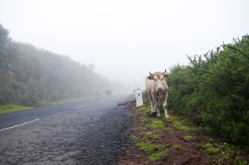 Vacas en el camino brumoso fotografía de archivo libre de regalías