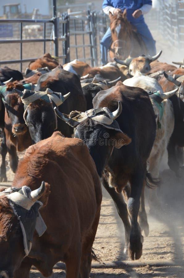 Vacas en el ganado fotos de archivo libres de regalías