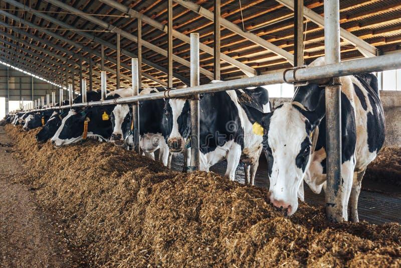 Vacas en el granero moderno imagen de archivo
