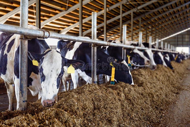 Vacas en el granero, planta de la leche imágenes de archivo libres de regalías