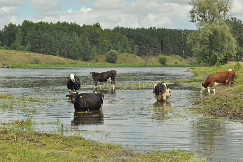 Vacas en el insecto del r?o, regando imagenes de archivo