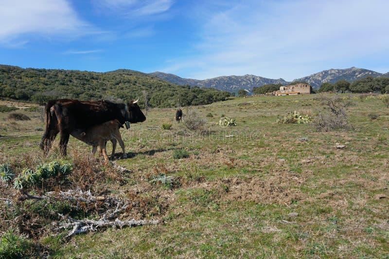 Vacas en el macizo España Cataluña de Albera del pasto foto de archivo libre de regalías