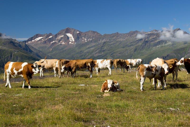 Vacas en el prado alpestre fotografía de archivo libre de regalías