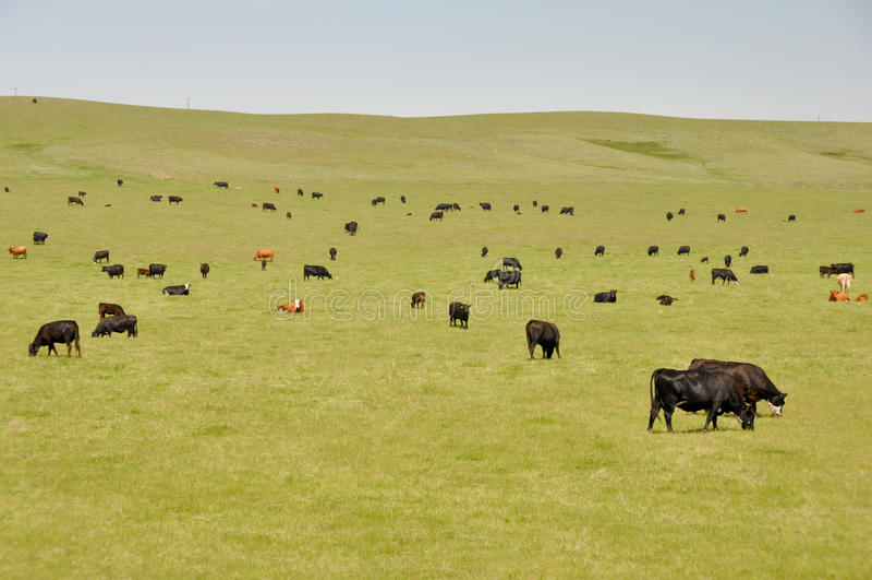 Vacas en el prado verde (Canadá) imagen de archivo libre de regalías