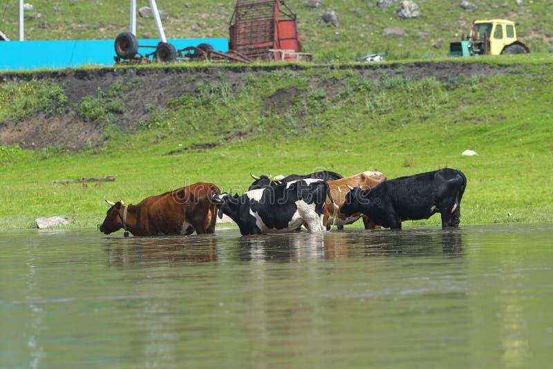 Vacas en el río fotos de archivo