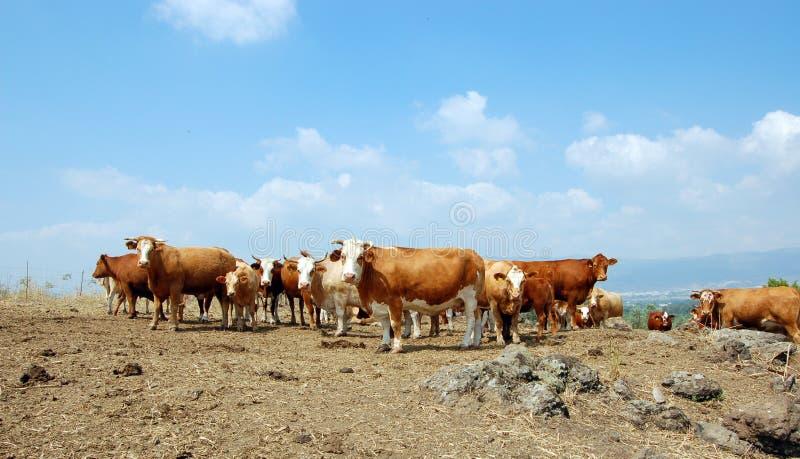 Vacas en el salvaje foto de archivo