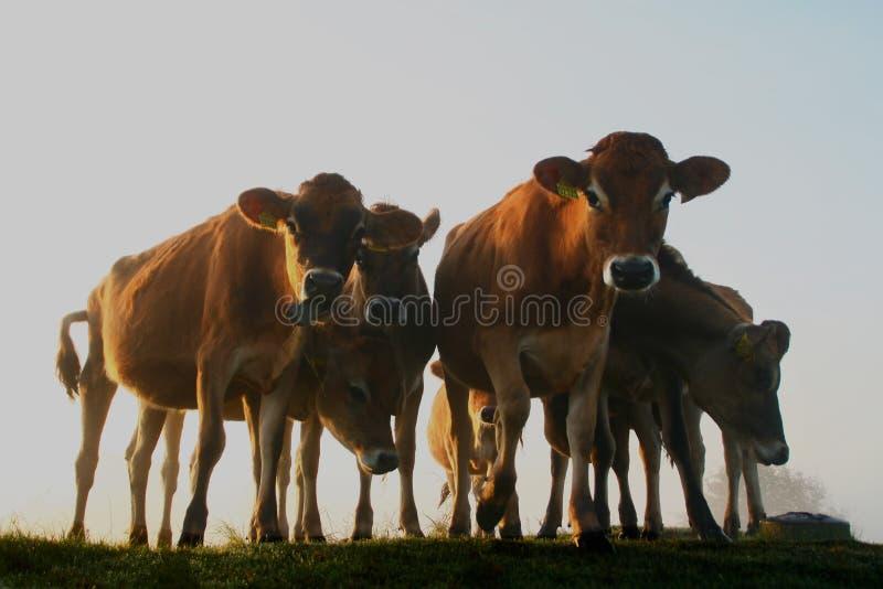 Vacas en el sol de la madrugada imagen de archivo