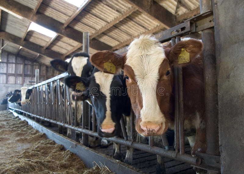 Vacas en establo fotografía de archivo libre de regalías