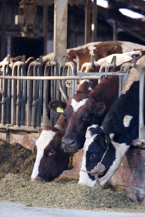 Vacas en granero imagen de archivo