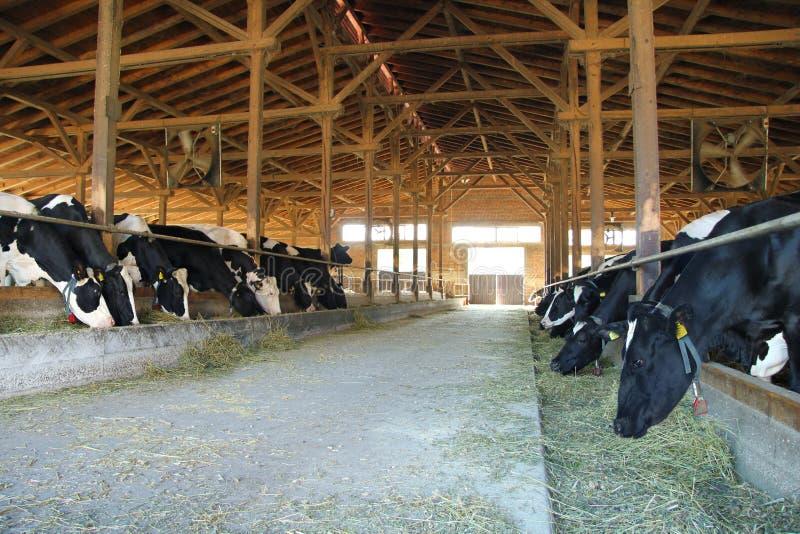 Vacas en granja fotografía de archivo