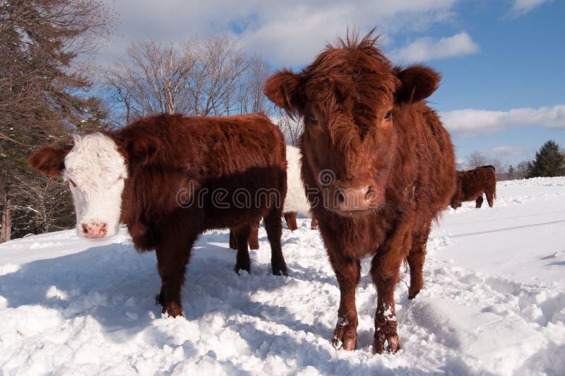 Vacas en invierno imagenes de archivo