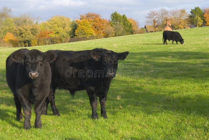 Vacas en la configuración rural fotos de archivo