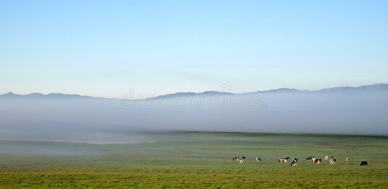 Vacas en la niebla fotos de archivo libres de regalías