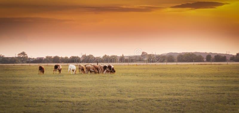 Vacas en la puesta del sol imagen de archivo