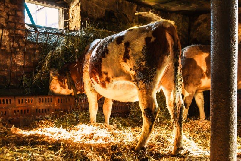 Vacas en la situaci?n de la granja imagen de archivo