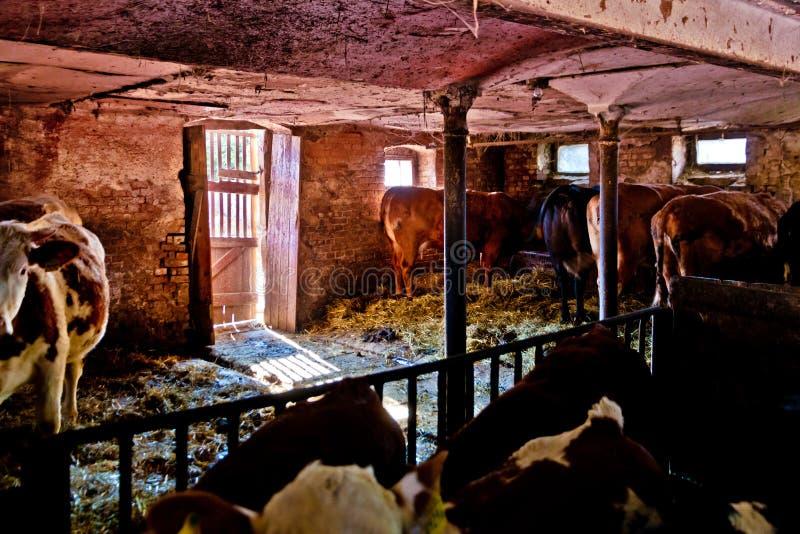 Vacas en la situaci?n de la granja imagenes de archivo