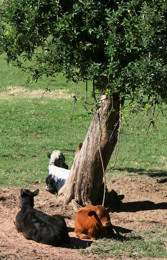 Vacas en la sombra
