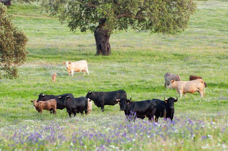 Vacas en los prados en Extremadura, España fotografía de archivo
