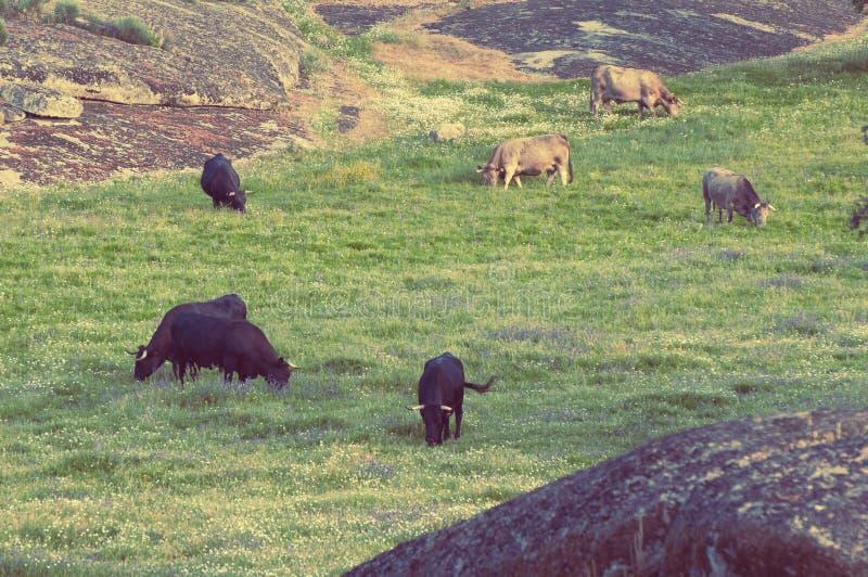 Vacas en los prados en Extremadura, España fotografía de archivo libre de regalías