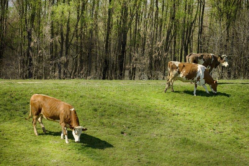 Vacas en naturaleza imagen de archivo