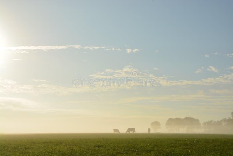 Vacas en niebla fotos de archivo libres de regalías