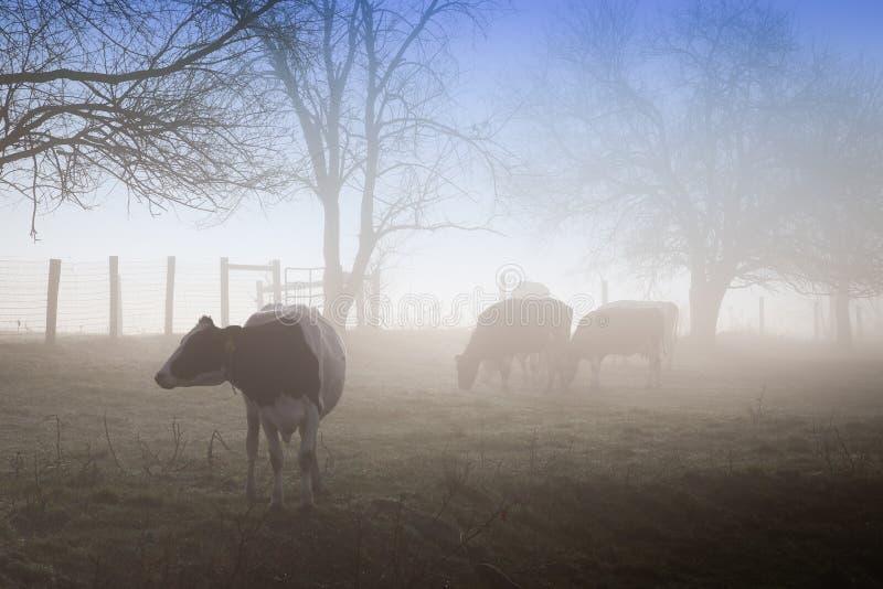 Vacas en niebla de la mañana fotografía de archivo
