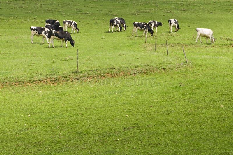 Vacas En Pasto Fotos de archivo libres de regalías