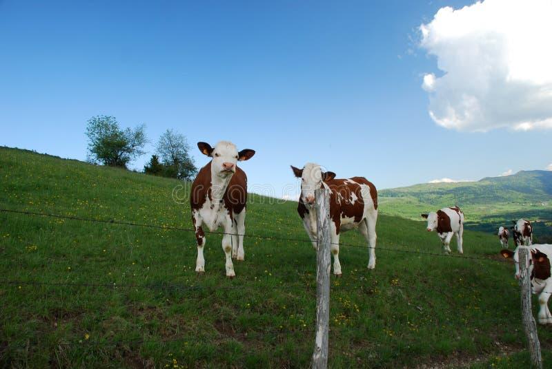 Vacas en Rhone Alpes fotos de archivo libres de regalías