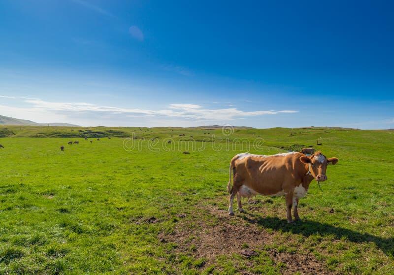 Vacas en tierras de pasto de Islandia fotos de archivo