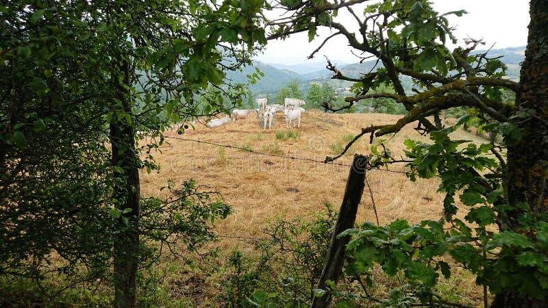 Vacas en un campo que pastan imagen de archivo libre de regalías
